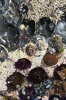Steinseeigel, Stein-Seeigel, sitzt in selbst in den Fels gegrabenen Mulden, Paracentrotus lividus, Strongylocentrotus lividus, Toxopneustes lividus, purple sea urchin, rock sea urchin, L'Oursin violet, Seeigel, Echinoidea, Sea urchins, urchins, sea hedgehogs, Échinioïdes, Échinides, Oursins, Hérissons de mer, Châtaignes de mer