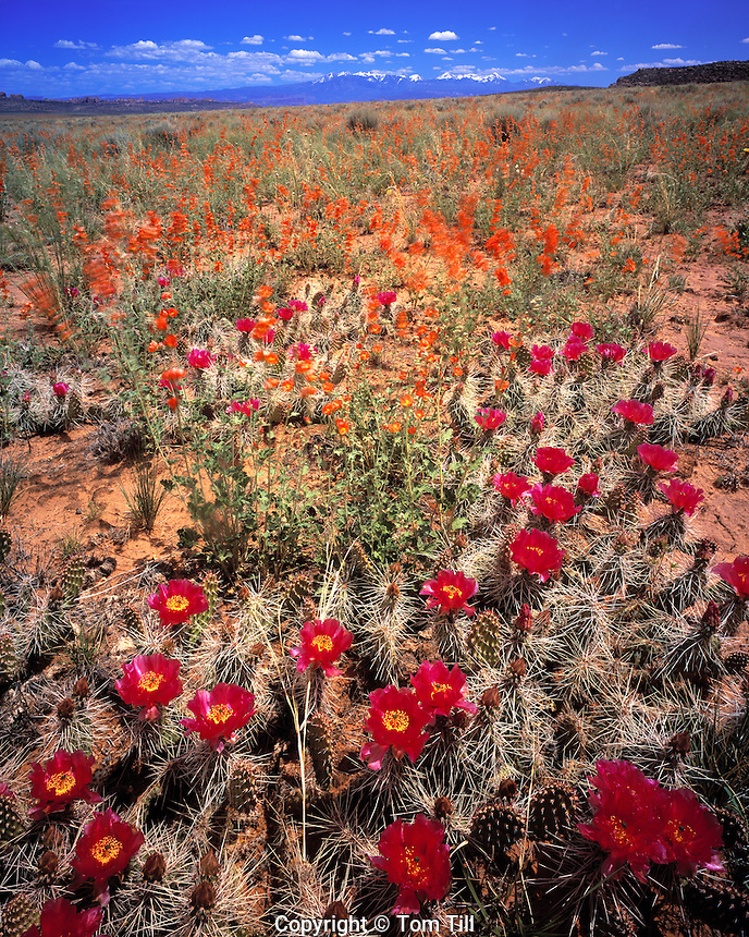 Spring Pricklypear Cactus and Globemallow, Salt Valley, Arches National Park, Utah