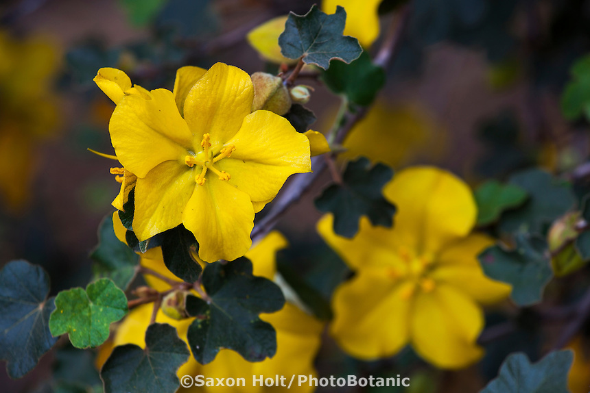 Fremontodendron 'Pacific Sunset', yellow flowering California native shrub cultivar