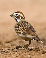 Lark Sparrow, Dos Venadas Ranch, South Texas