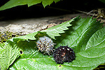 Red Admiral Butterfly larvae showing color variability
