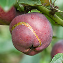 Ribbon-like, raised scar on the skin of Apple 'Starkrimson Delicious', early September. The scar indicates where a young apple sawfly maggot has hatched and fed just below the surface.
