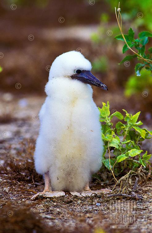 Native brown booby chick (sula leucogaster plotus) on Kure Atoll, Hawaii