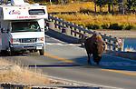 Bison Roadblock, Fishing Bridge, Yellowstone Lake, Yellowstone National Park, Wyoming