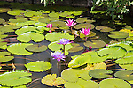 Nil Manel, blue water lily (Nymphaea stellata, or Nymphaea nouchali) at Dambulla, Sri Lanka, Asia
