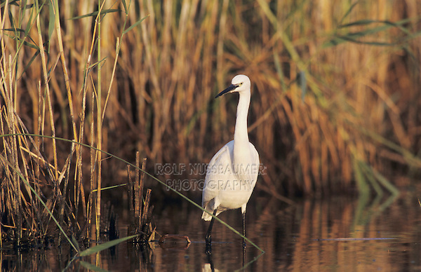 Little Egret, Egretta garzetta, adult fishing, Samos, Greek Island, Greece, May 2000