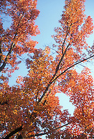 Liquidambar styraciflua  Sweetgum tree in fall foliage color in autumn