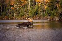 Moose crossing a stream.