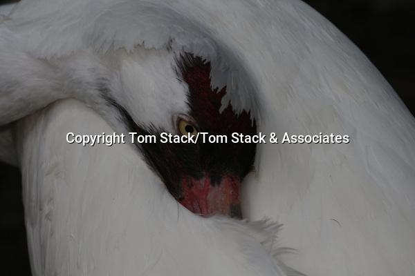 Whooping Crane, Grus americana, an endangered species. (captive)