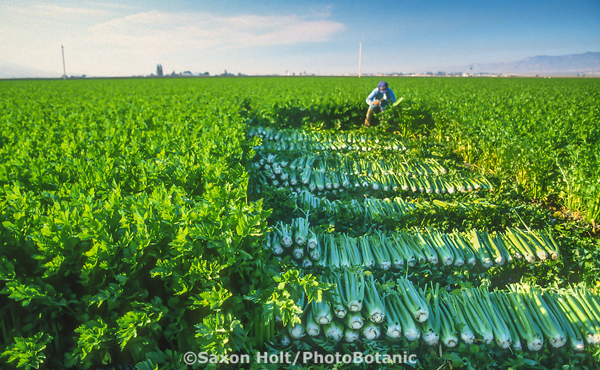 Field worker harvesting celery in Salinas Valley, California farm