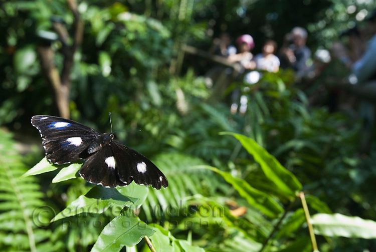 Butterfly at Australian Butterfly Sanctuary.  Kuranda, Cairns, Queensland, Australia