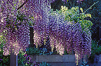 CHINESE WISTERIA (Wisteris sinensis) with PURPLE FLOWERS blooming in the spring