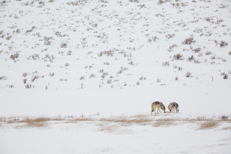 Two gray wolves sniff and prod part of an elk carcass in the snow in Yellowstone National Park, Wyoming.