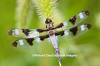 06625-005.01 Twelve-spotted Skimmer (Libellula pulchella) male perched on foxtail, Marion Co. IL