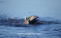 00672-00502 Brown Pelican (Pelecanus occidentalis) feeding J.N. Ding Darling NWR   FL