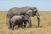 Adult and calf African Elephant, Loxodonta africana, in Serengeti National Park, Tanzania