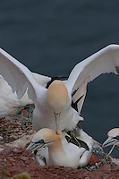 Basstölpel, Baßtölpel, Paar bei der Paarung, Kopulation, Männchen beißt dem Weibchen in den Nacken, Tölpel, Sula bassana, Morus bassanus, northern gannet