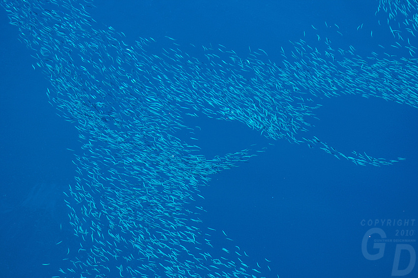 Schooling of small fish in the South Pacific, Micronesia