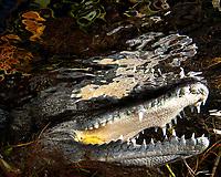 Morelet's crocodile, or Mexican crocodile, Crocodylus moreletii, close up carwash cenote, Tulum Riviera maya Mexico