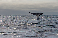 Blue Whale Diving, Monterey Bay