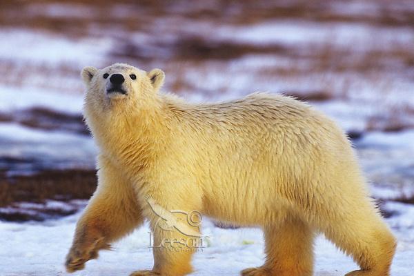 Polar Bear cub walking across tundra in Arctic National Wildlife Refuge, Alaska.  Fall.
