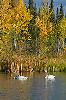A pair of trumpeter swans swim in a small tundra pond along the George Parks Highway in Interior, Alaska.