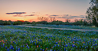 Texas Hill Country Wildflower Sunset Pano - Texas hill country wildflowers along this road at sunsets with these pinks, yellow, and orange colors left in the sky from the sun setting.  This was a nice colorful sunset sky add in some bluebonnets, indian paintbrush, yellow wildflowers with just a touch of light left in the day and you have wonderful wildflowers landscape. Bluebonnet season as we call it here in Texas on some year produces wonderful blooms to dazzel our senses both with smell and sight.  This year is not the boom we first though but it is definately a good year for wildflowers of all kinds in the Texas hill country.