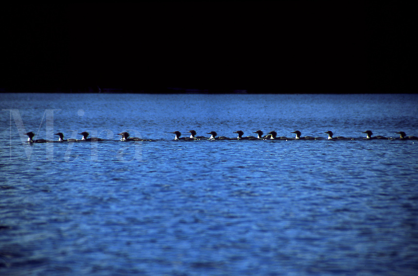 Line of water birds swimming in Algonquin Provincial Park, Ontario, Canada