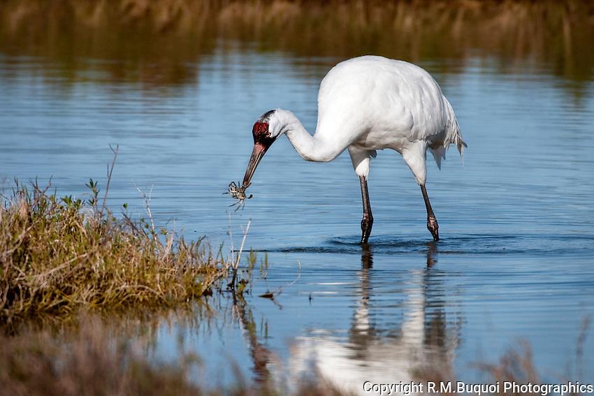 Whooping Crane feeding on baby Blue Crab