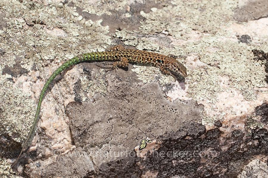 Tyrrhenische Mauereidechse, Männchen, Thyrrhenische Mauereidechse, Podarcis tiliguerta, Lacerta tiliguerta, Tyrrhenian Wall Lizard, Thyrrhenian wall lizard, Tyrrhenean wall lizard, male, Korsika, Corsica