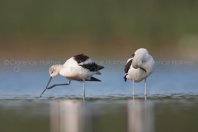 American Avocet (Recurvirostra americana) pair preening, East Pond, Jamaica Bay Wildlife Refuge