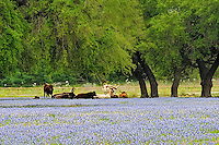 Bluebonnet Flowers, San Antonio, TX