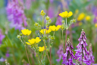 Wildflowers along the Richardson highway, Interior, Alaska