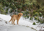 Golden retriever in winter with snow.