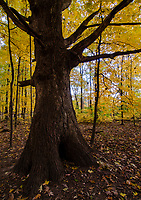 The light filters through the autumn yellow leaves of a maple forest creating a warm soft glow that no lightbuld can ever achieve, Hammel Woods Forest Preserve, Will County, Illinois