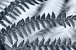 Infrared black and white photograph of three fern leaves