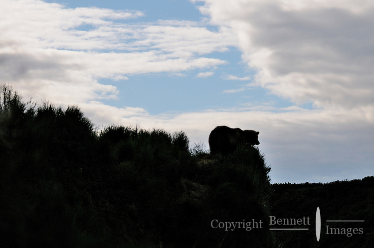 A brown bear is silhouetted in the twilight at the McNeil River Falls,  in Alaska's McNeil River State Game Sanctuary.