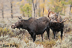 Bull and cow moose during the rut. Grand Teton National Park, Wyoming.