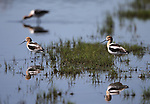 American Avocetes feed along Washoe Lake, north of Carson City, Nev. on Wednesday, June 7, 2017. <br />