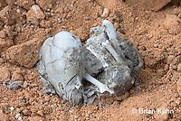 0W09-550z  Owl pellet broken open