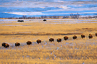 Bison Herd on snowy prairie, Cannonball River Valley, Grant County, North Dakota, AGPix_0070.
