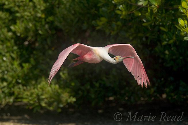 Roseate Spoonbill (Ajaia ajaja), adult in breeding plumage, in flight, Tampa Bay, Florida, USA