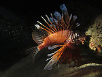 Kenting, Taiwan -- A common lionfish caught in a light beam at night.
