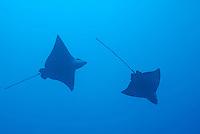 Swimming Spotted Eagle rays (Aetobatus narinari), underwater view, Wolf Island, Galapagos Islands, Ecuador