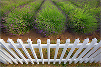 Fence with lavender. Jardin du Soleil lavendar farm. Washington