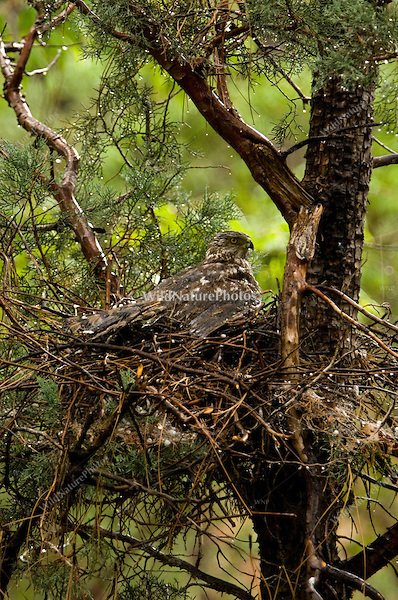 Female Cooper's Hawk protecting nestlings from hailstorm.