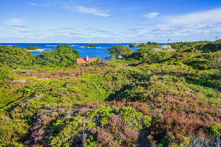 Ljungen blommar på Norrpada i Stockholms skärgård/ Stockholm archipelago Sweden