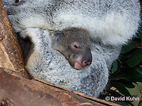 0802-1016  Koala with Young, 6 month old Joey that Just Emerged from Pouch within One Day, Phascolarctos cinereus © David Kuhn/Dwight Kuhn Photography
