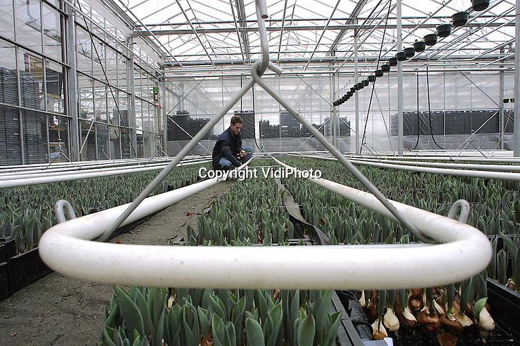 Foto: VidiPhoto..AMBT-DELDEN - De bloemsensector heeft er een nieuw fenomeen bij: de tulpenschoof. Het idee van tulpenkweker Rik Visschedijk uit Ambt-Delden is simpel en het resultaat verbluffend. In plaats dat de tulpen van hun bol worden ontdaan, worden ze als schoven bij elkaar gebonden zonder dat de bol verwijderd wordt. In plaats van vijf dagen, blijven bloemen nu zeker twee weken bloeien, omdat ze het levensvocht uit de bol halen. Inmiddels is, volgens de bloemenveiling in Bemmel, grote vraag naar het nieuwe product.