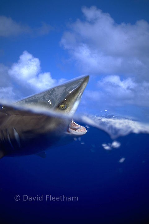 This split image of an oceanic whitetip shark [Carcharhinus longimanus] was taken with a Canon 15mm full frame fisheye lens several miles off the Big Island in open ocean.  Hawaii.